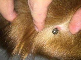 狗豆子怎么去除?狗豆子图片及治疗方法百科网